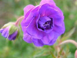 Geranium himalayense 'Plenum' / Storchenschnabel