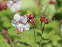 Geranium macrorrhizum 'Spessart' / Storchenschnabel