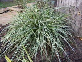 Carex oshimensis 'Everest' ® / Japan Segge