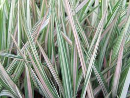 Phalaris arundinacea 'Feesey' / Buntblättriges-Rohglanzgars