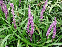 Liriope muscari 'Purple Passion' / Glöckchentraube