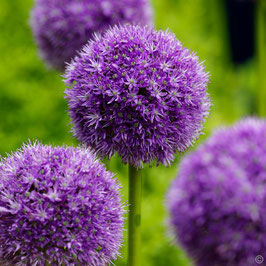Allium 'His Excellency' / Zierlauch