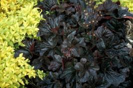 Heuchera Hybride 'Obsidian' ® / Purpurglöckchen