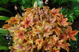 Heucherella Hybride 'Brass Lantern' ® / Purpurglöckchen