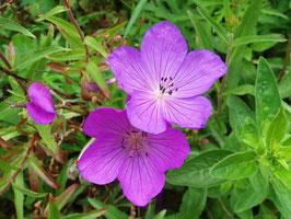 Geranium clarkei 'Kashmir Pink' / Storchschnabel