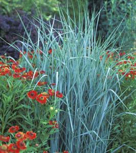 Panicum virgatum 'Prairie Skies' / Ruten Hirse