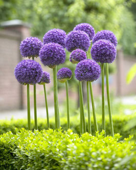 Allium 'Gladiator' / Zierlauch
