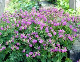 Geranium cantabrigense 'Cambridge' / Storchschnabel
