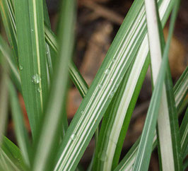 Calamagrostis x acutiflora 'Avalanche' / Buntes Sandrohr
