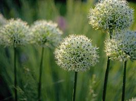 Allium hirtifolium var. album / Zierlauch