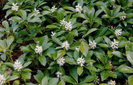 Pachysandra terminalis 'Green Carpet' / Schattengrün (3-7 Triebe)