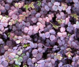 Acaena purpurea