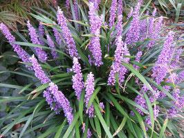 Liriope muscari 'Royal Purple' / Glöckchentraube