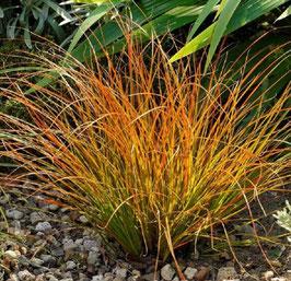 Carex testacea 'Praerie Fire' / Segge