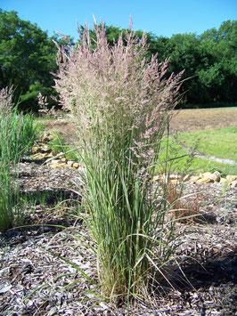 Calamagrostis x acutiflora 'Overdam' / Buntes Sandrohr