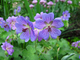 Geranium renardii 'Philippe Vapelle' / Storchenschnabel