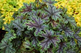 Heucherella Hybride 'Tapestry' ® / Purpurglöckchen