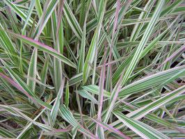 Phalaris arundinacea 'Picta' / Buntblättriges-Rohglanzgars