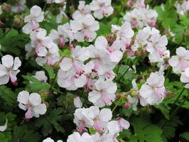 Geranium cantabrigense 'St Ola' / Storchschnabel