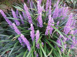 Liriope muscari 'Royal Purple' / Glöckchentraube