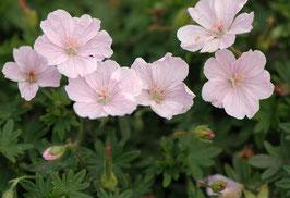 Geranium sanguineum 'Apfelblüte' / Storchenschnabel