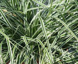 Carex oshimensis 'Everest' ®