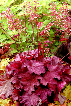 Heuchera Hybride 'Berry Smoothie' / Purpurglöckchen