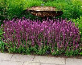 Salvia nemorosa 'Sensation Pink®' Steppen-Salbei