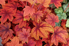 Heucherella Hybride 'Sweet Tea' ® / Purpurglöckchen
