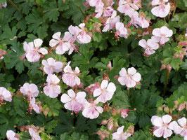 Geranium cantabrigense 'Biokovo' / Storchschnabel