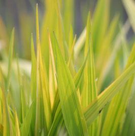 Phalaris arundinacea 'Luteopicta' / Buntblättriges-Rohglanzgars