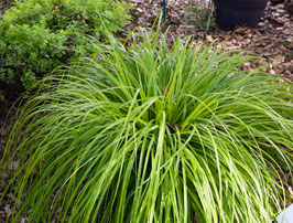 Carex oshimensis 'JS Greenwell' / Japan Segge