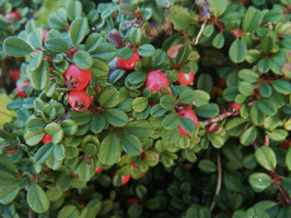 Cotoneaster dammeri 'Streibs Findling' / Teppich-Zwergmispel