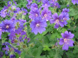 Geranium pratense 'Johnsons Blue' / Storchenschnabel