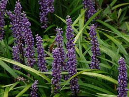 Liriope muscari 'Lilac Wonder' / Glöckchentraube