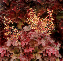 Heuchera Hybride 'Root Beer' / Purpurglöckchen