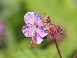 Geranium macrorrhizum 'Ingwersen' / Storchenschnabel