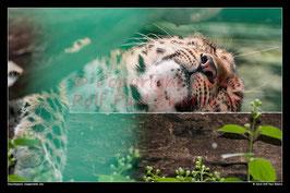Amurleopard, Wuppertaler Zoo