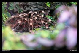 Vogelspinne, Kölner Zoo