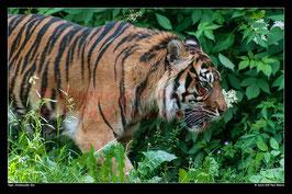Tiger, Dortmunder Zoo