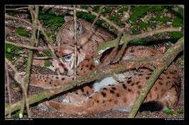 Luchs, Dortmunder Zoo