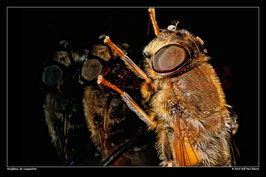 Honigbiene, Bochum-Langendreer
