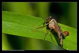 Skorpionsfliege, Botanischer Garten RUB