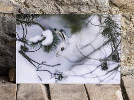 Alpen Schneehase