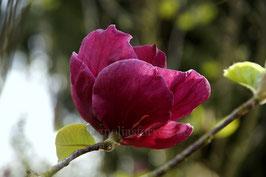 Blackberry Rose - Einzelstück!