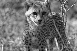 Cheetah (junger Gepard) in schwarz-weiß