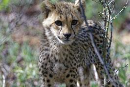 Cheetah (junger Gepard)