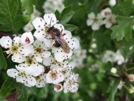 Draag bij en help mee bij-les geven aan basisscholieren over wilde bijen en bloemen .