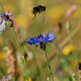 Draag bij aan bijenoases in Nederland.