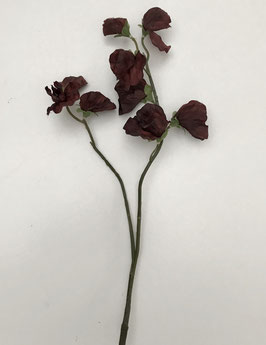 Latyrus - rood/bruin